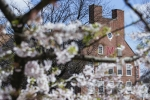 Cherry blossoms on campus